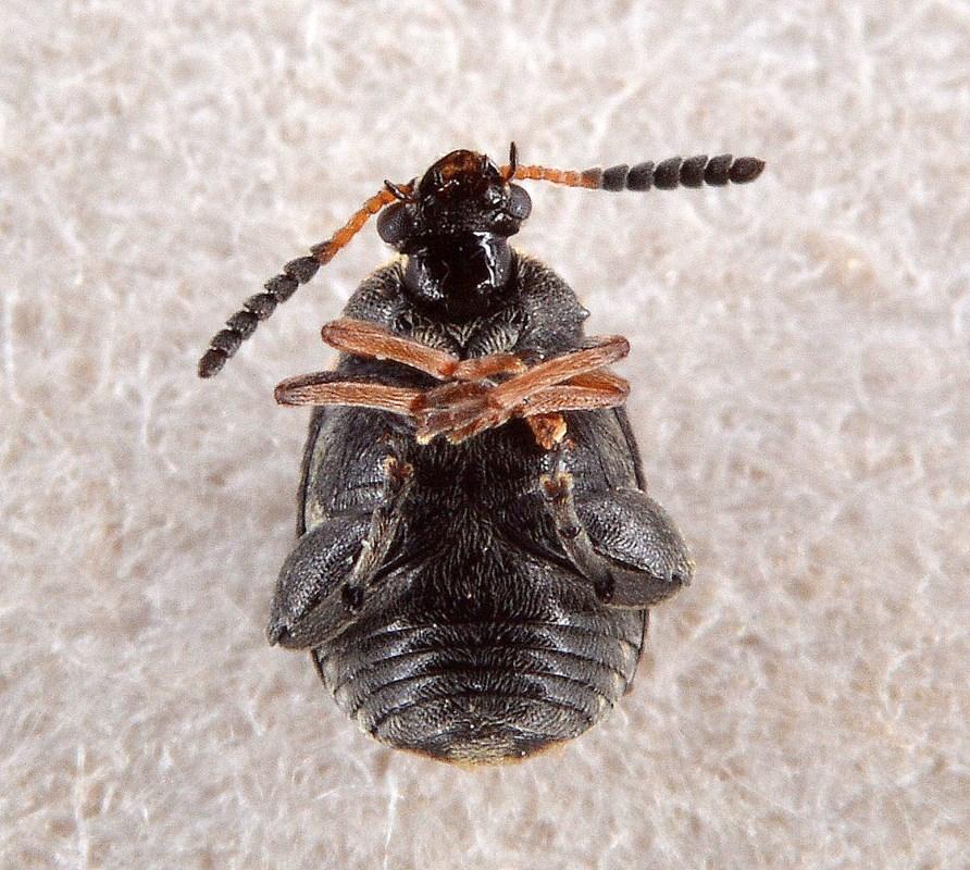 Bruchus luteicornis (Bruchus luteicornis)