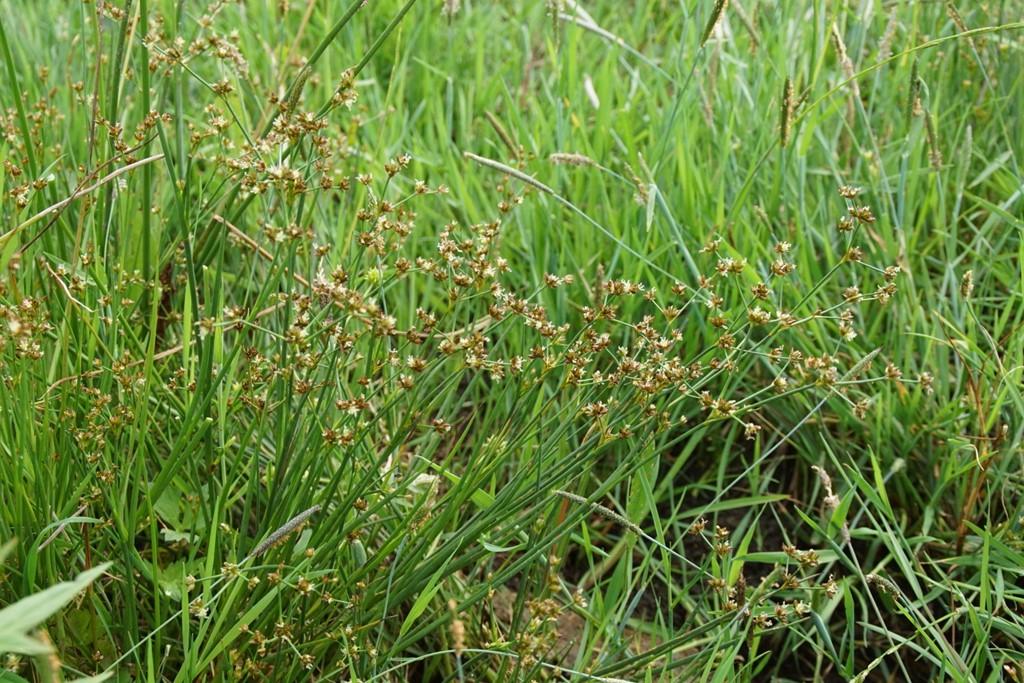 Glanskapslet Siv (Juncus articulatus)