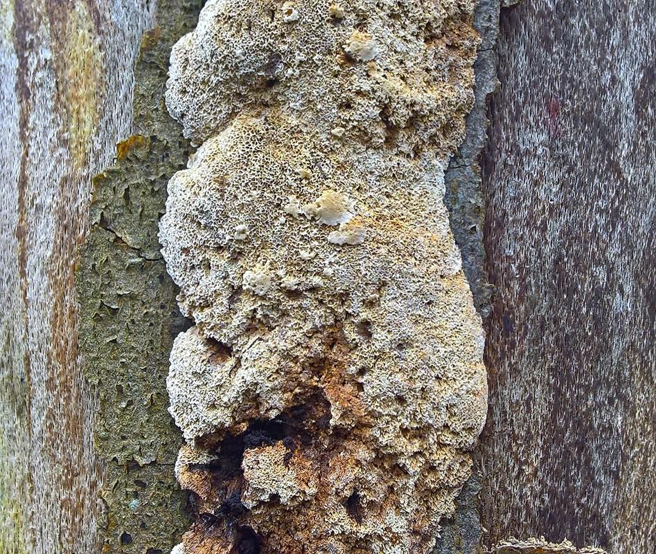 Foto/billede af Bøge-Spejlporesvamp (Mensularia nodulosa)