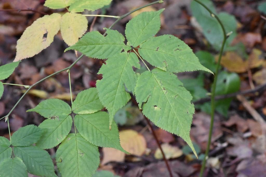 Rubus pergratus