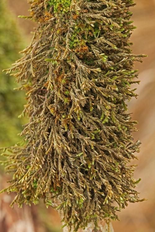 Foto/billede af Bark-Dækmos (Cryphaea heteromalla)
