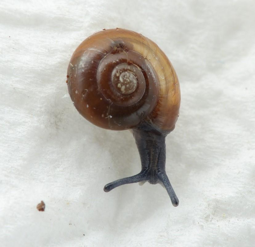 Foto/billede af Rødlig Rovsnegl (Aegopinella nitidula)