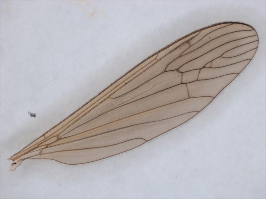Pseudolimnophila sepium
