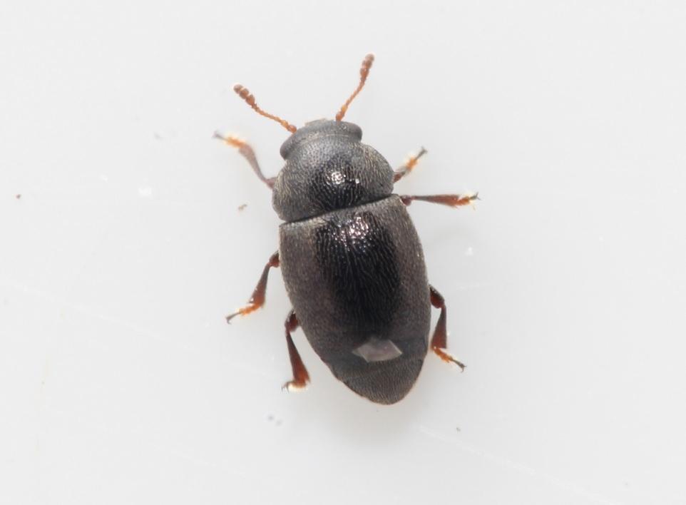 Foto/billede af Brachypterus urticae (Brachypterus urticae)