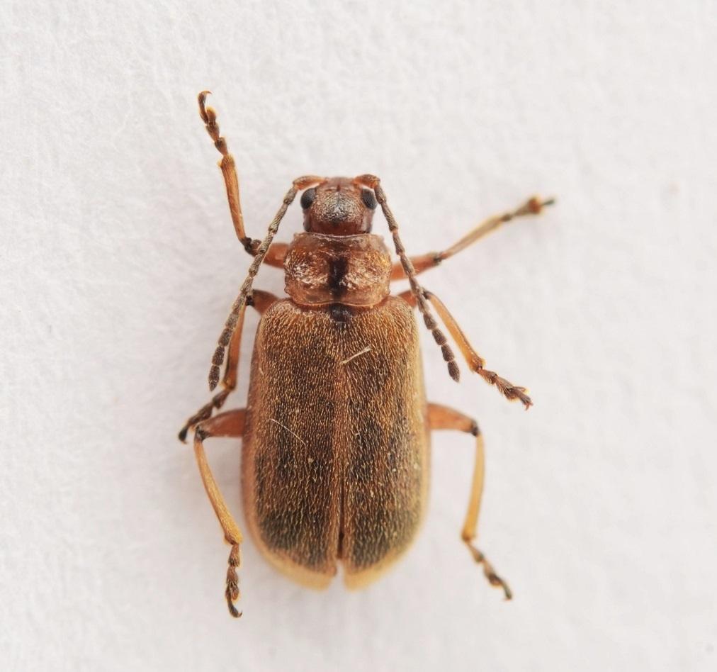 Galerucella grisescens (Galerucella grisescens)