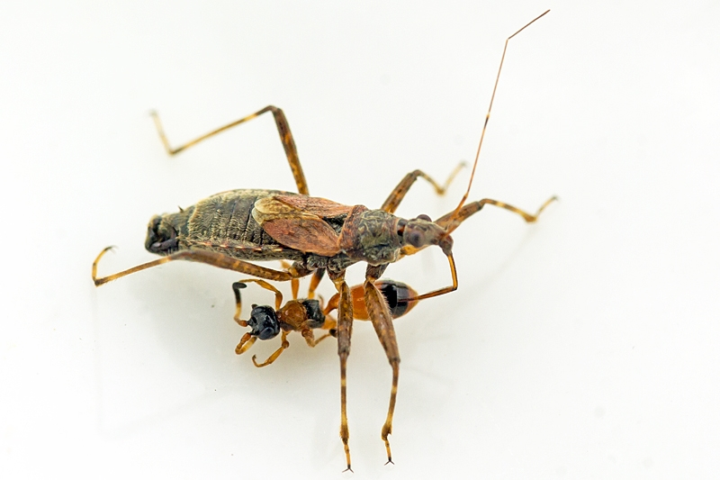 Foto/billede af Aptesis nigrocincta (Aptesis nigrocincta)