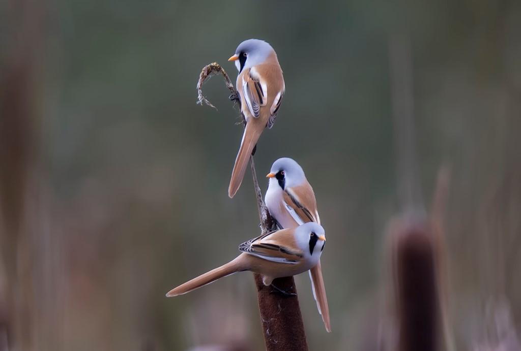Foto/billede af Skægmejse (Panurus biarmicus)