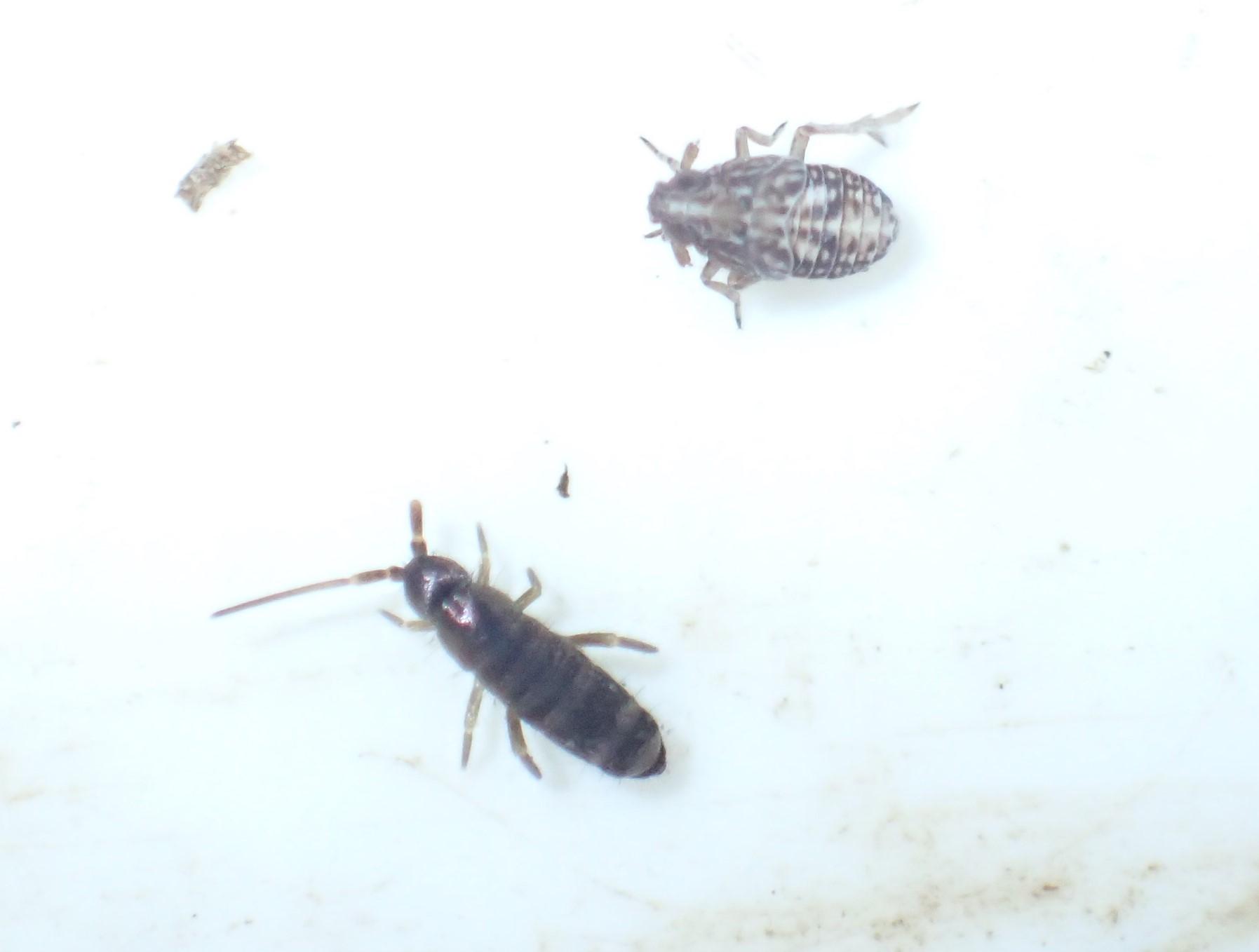 Tomocerus vulgaris (Tomocerus vulgaris)