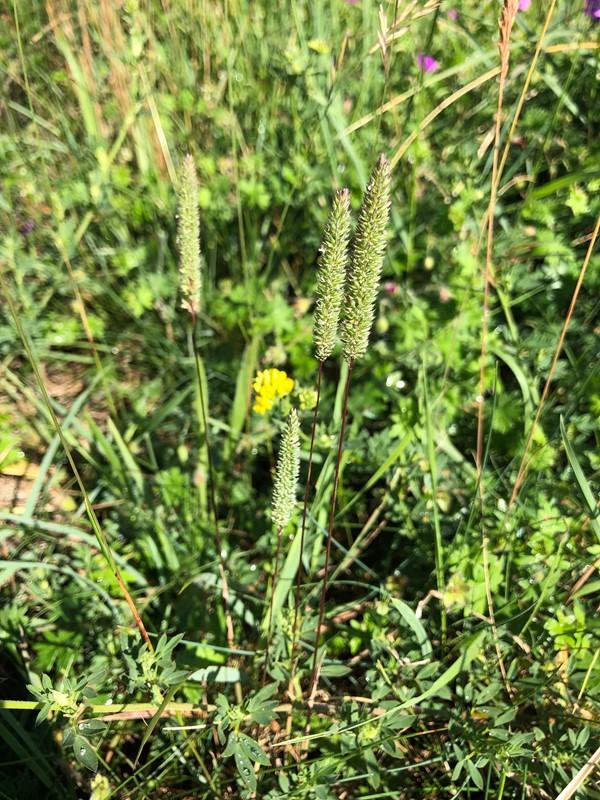 Foto/billede af Glat Rottehale (Phleum phleoides)