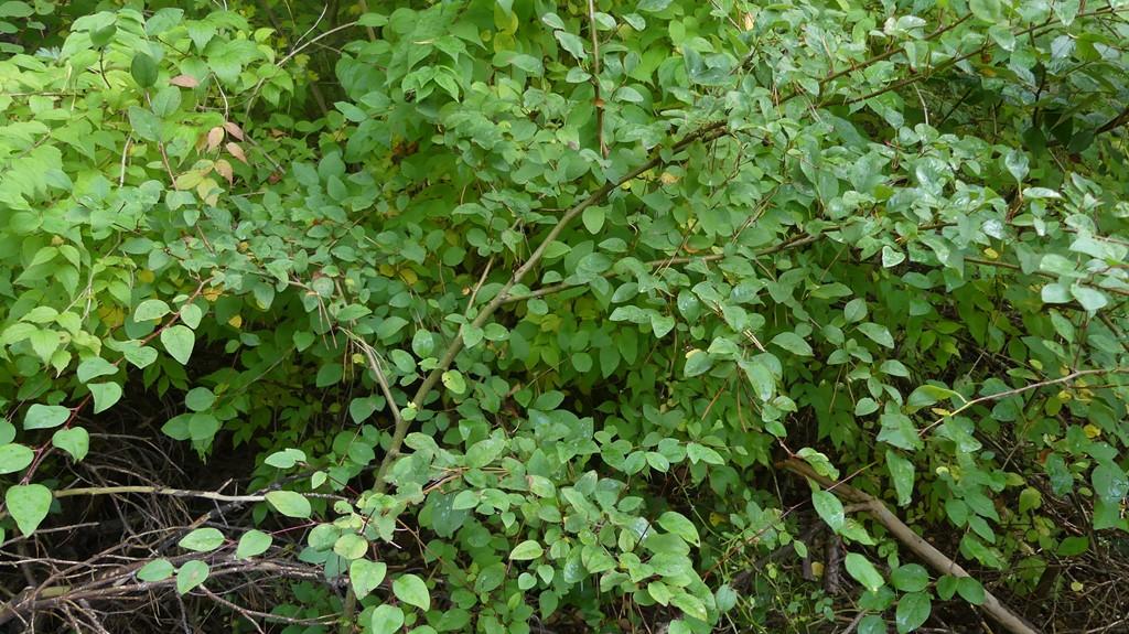 Cotoneaster przewalski