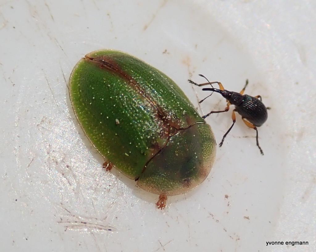 Cassida sanguinolenta (Cassida sanguinolenta)