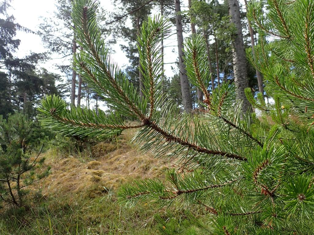 Foto/billede af Klit-Fyr (Pinus contorta)