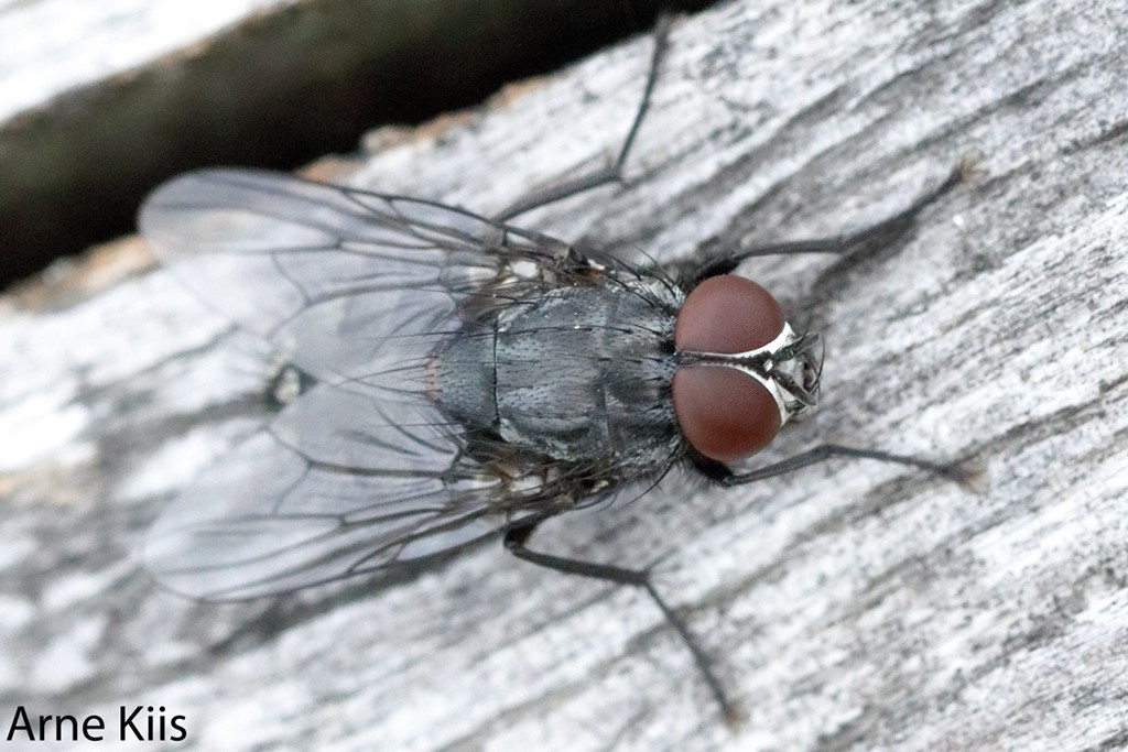 Foto/billede af Muscina levida (Muscina levida)