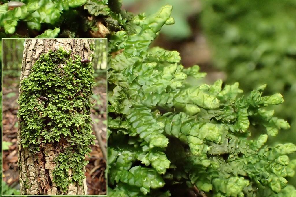 Foto/billede af Almindelig Skælryg (Porella platyphylla)