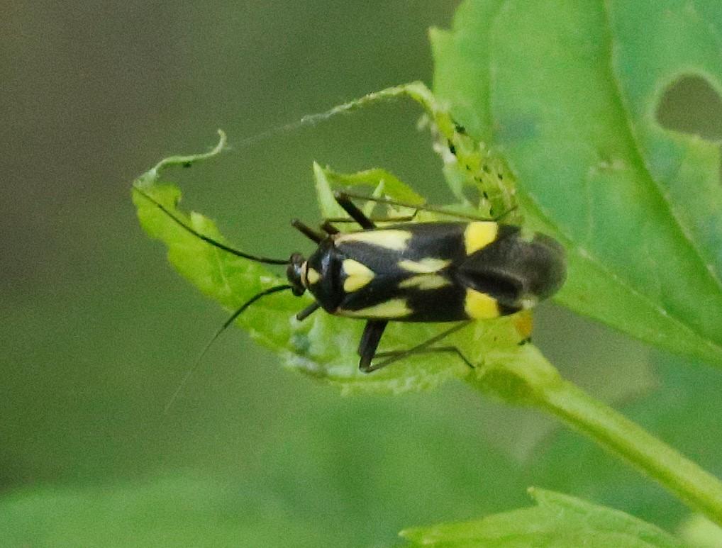 Foto/billede af Seksplettet Blomstertæge (Grypocoris sexguttatus)
