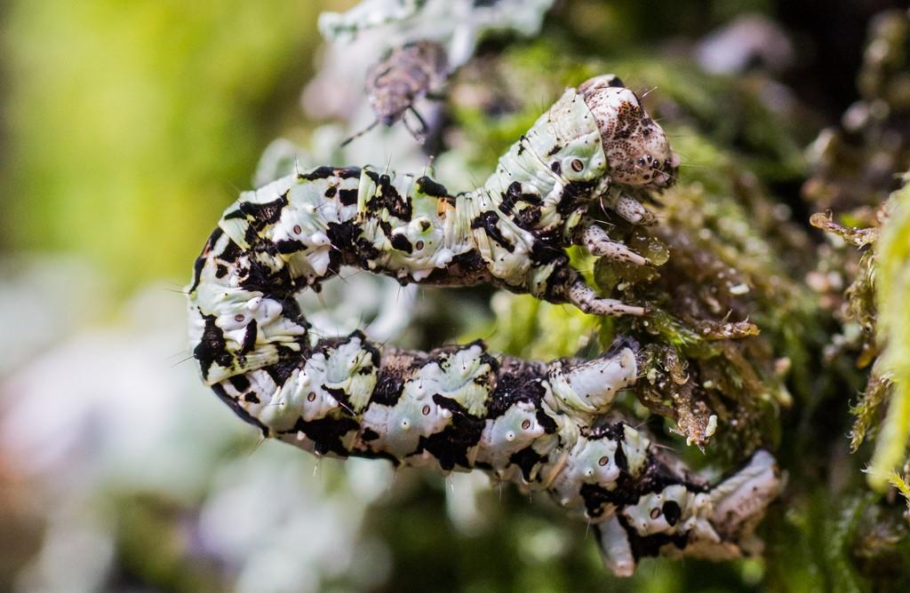 Foto/billede af Lille Lavmåler (Cleorodes lichenaria)