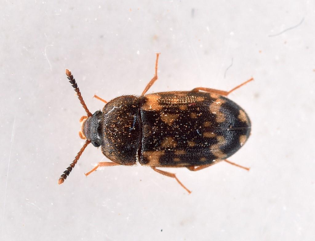 Foto/billede af Gulplettet Svampebille (Mycetophagus atomarius)