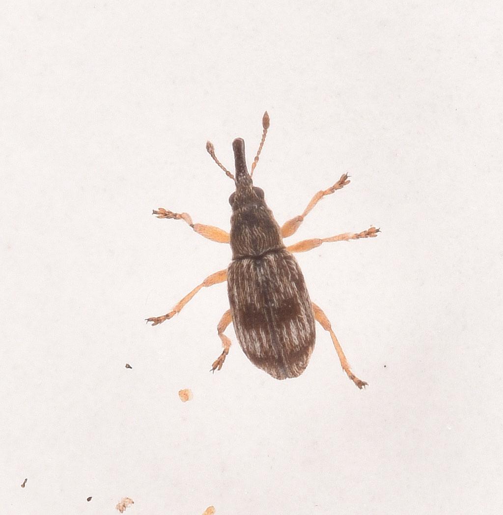 Foto/billede af Apion urticarium (Apion urticarium)