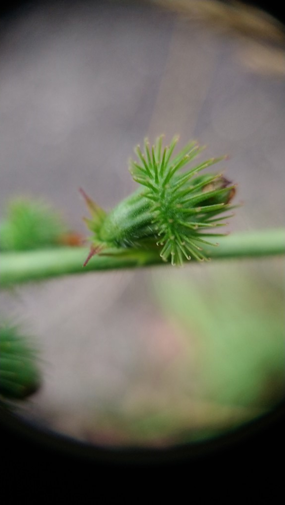 Foto/billede af Vellugtende Agermåne (Agrimonia procera)