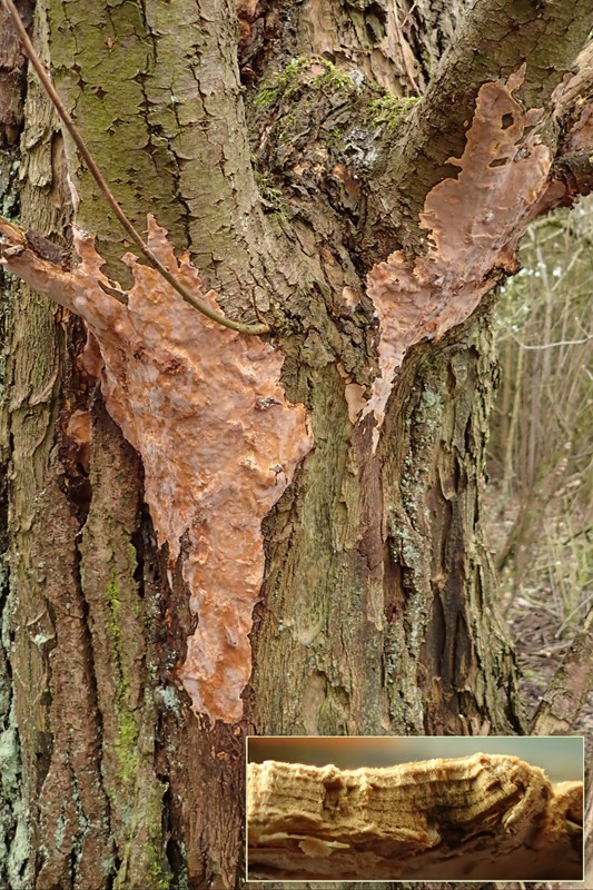 Naftalinskorpe (Scytinostroma portentosum)