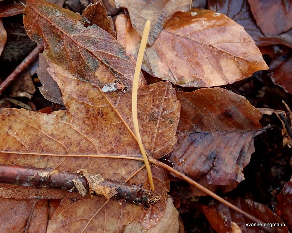Pibet Rørkølle (Macrotyphula fistulosa)