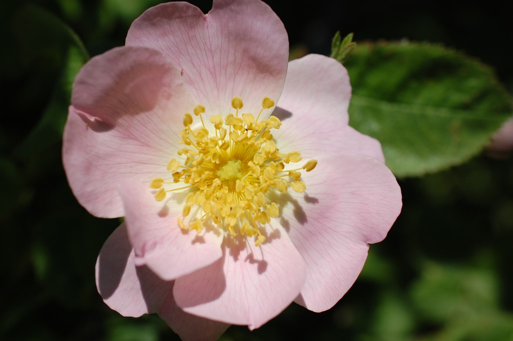 Langstilket Filt-Rose