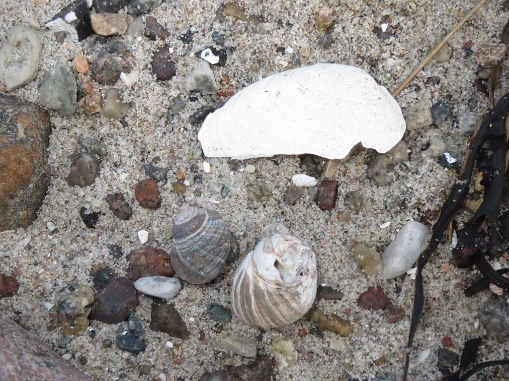 Foto/billede af Stor strandsnegl (Littorina littorea)