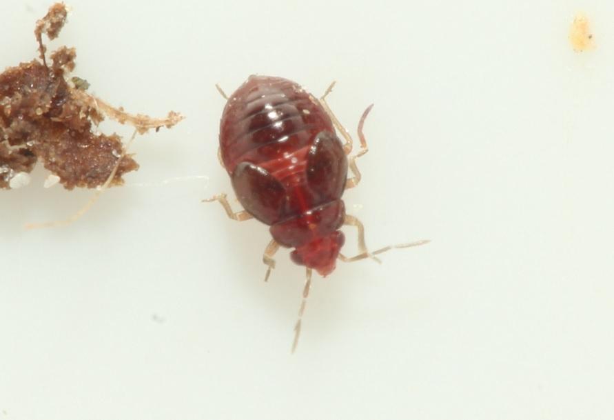 Loricula coleoptrata