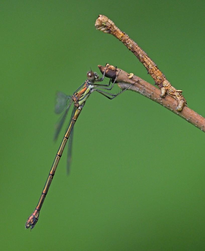 Foto/billede af Grøn Kobbervandnymfe (Lestes viridis)