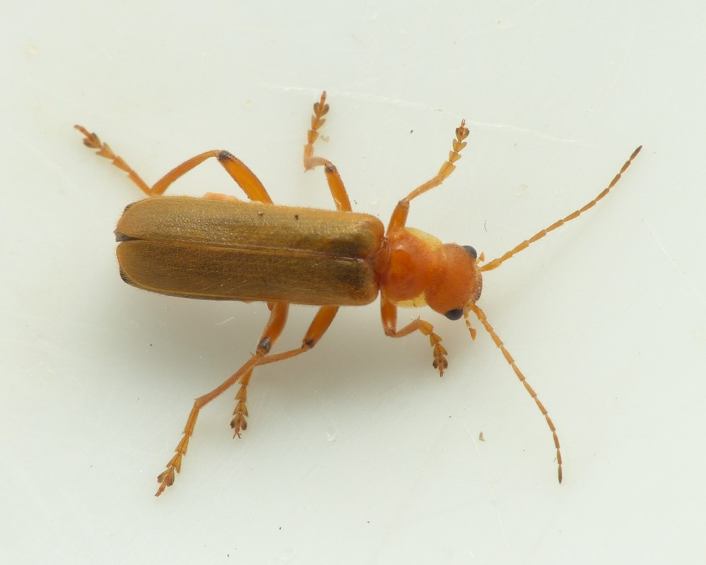 Cantharis cryptica (Cantharis cryptica)