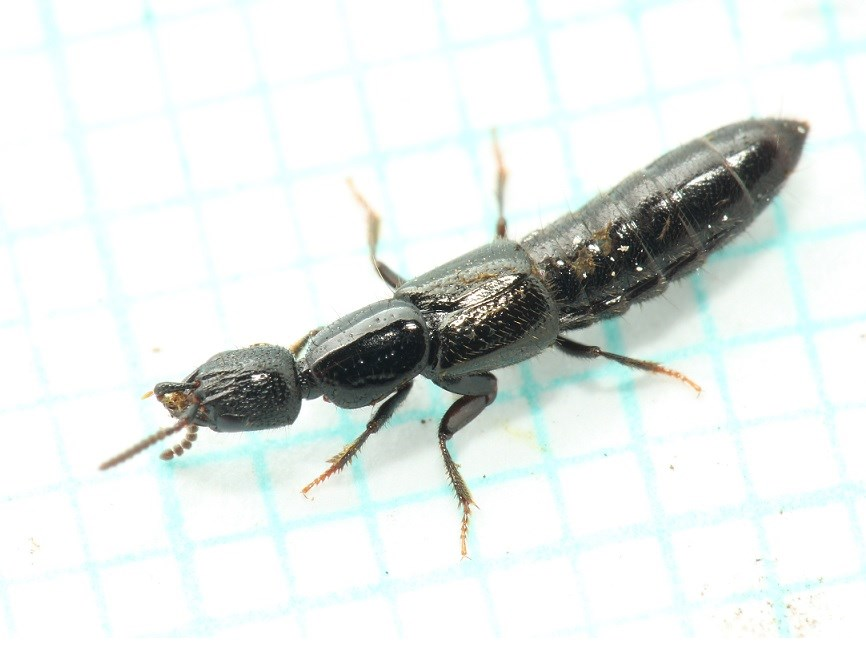 Gyrohypnus Liebei (Gyrohypnus punctulatus)