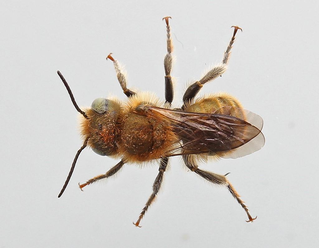 Foto/billede af Blå Murerbi (Osmia caerulescens)