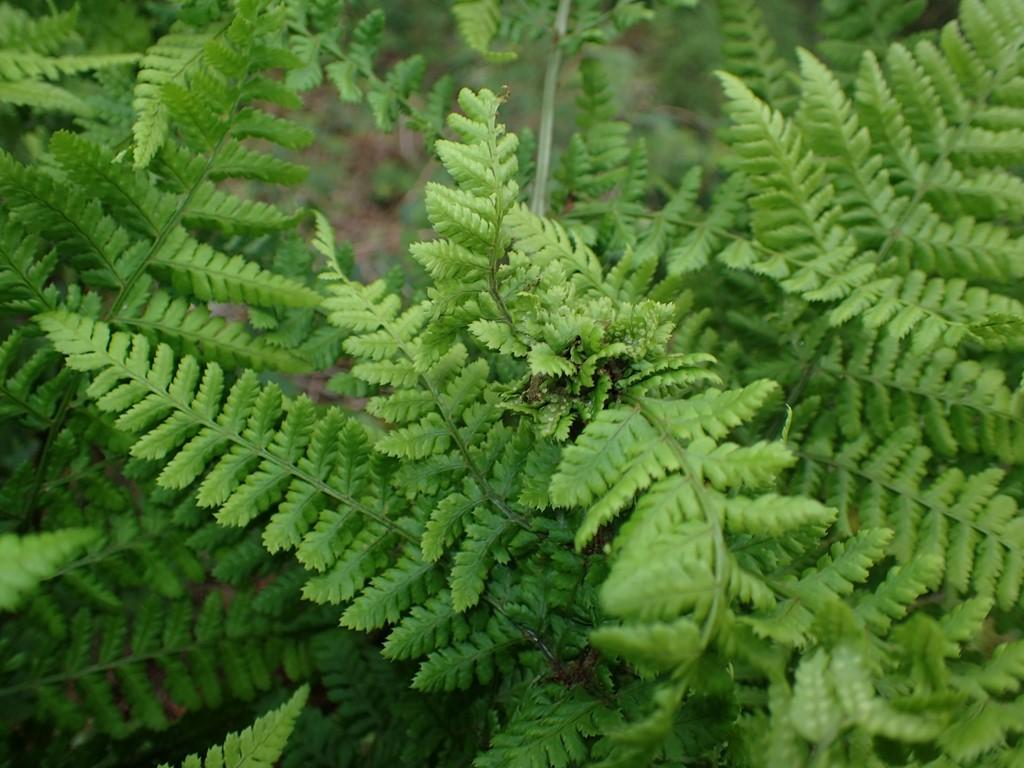 Chirosia betuleti (Chirosia betuleti)