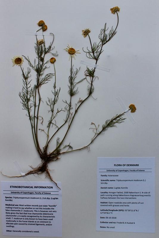 Foto/billede af Lugtløs Kamille (Tripleurospermum perforatum)