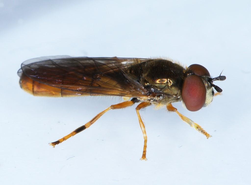 Bleg Bredfodsflue (Platycheirus perpallidus)