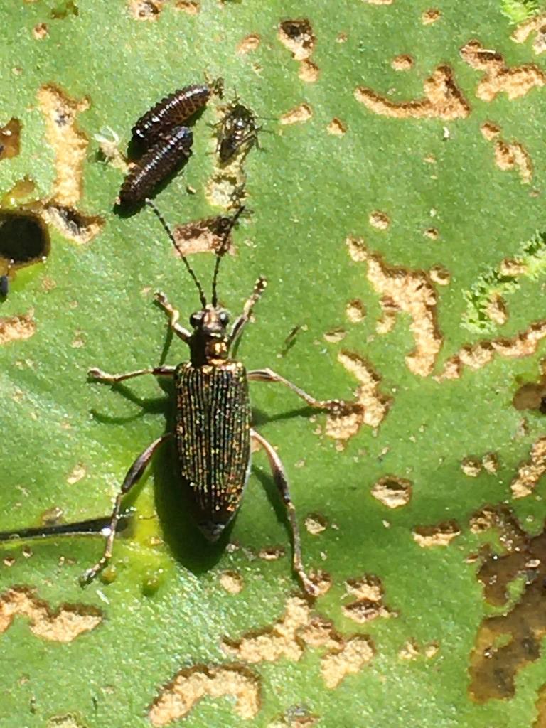 Åkandesivbuk (Donacia crassipes)