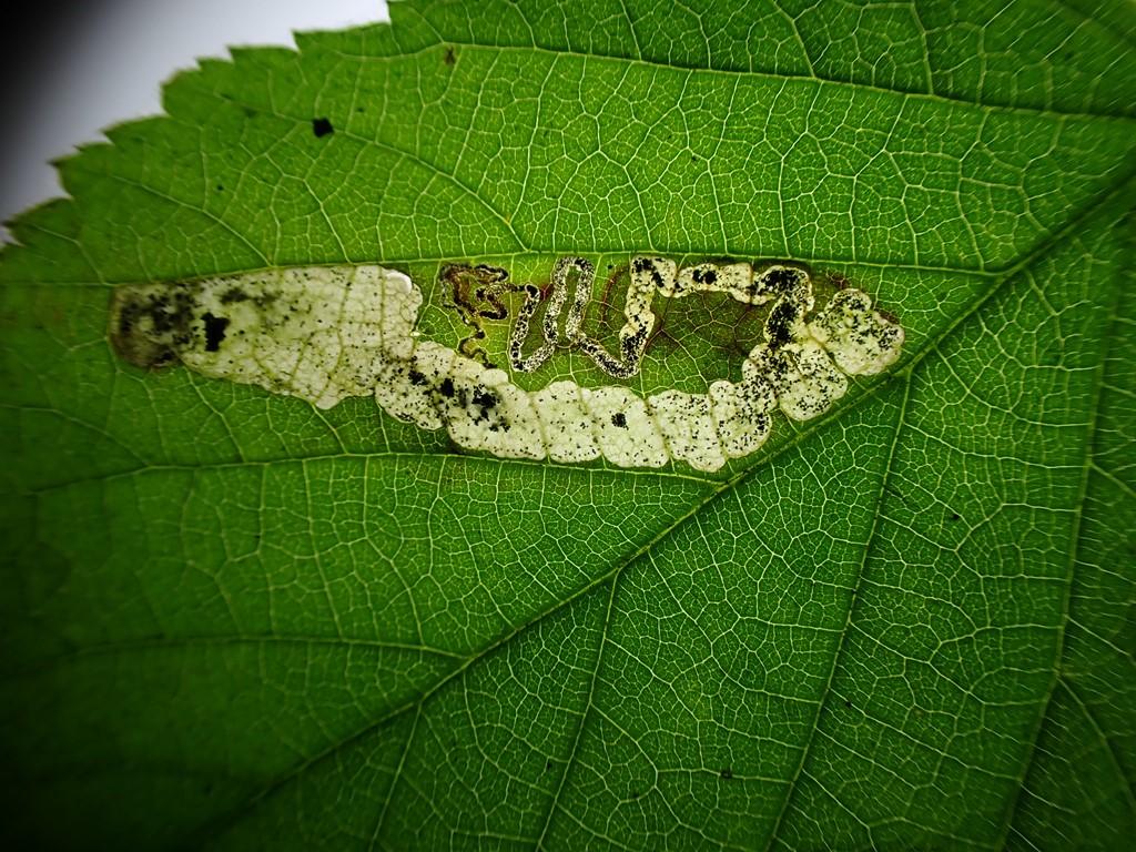 Hindbærdværgmøl (Ectoedemia rubivora)