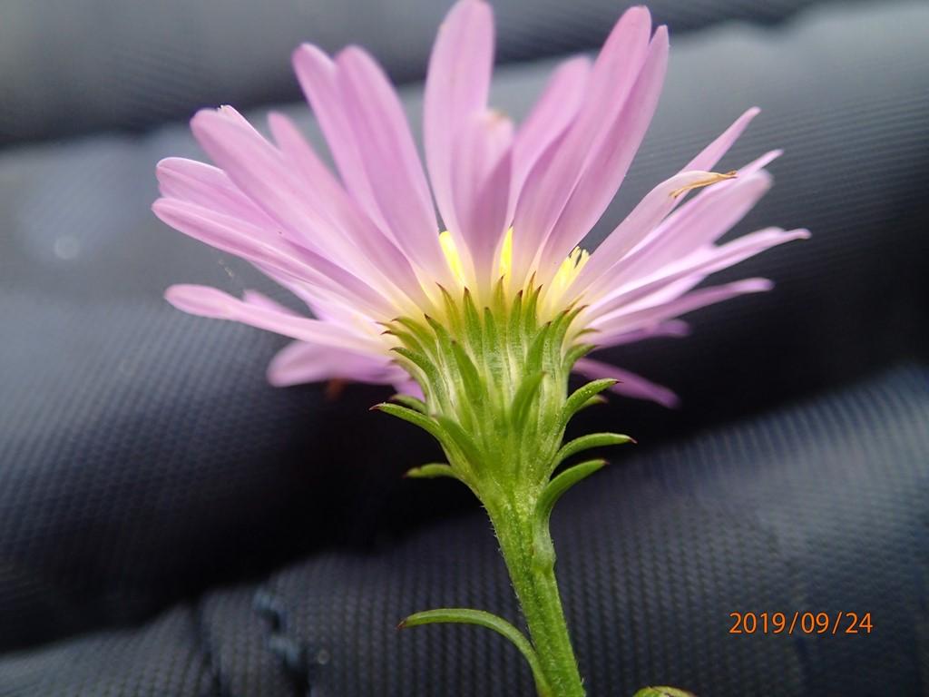 Foto/billede af Pilebladet Asters (Aster x salignus)