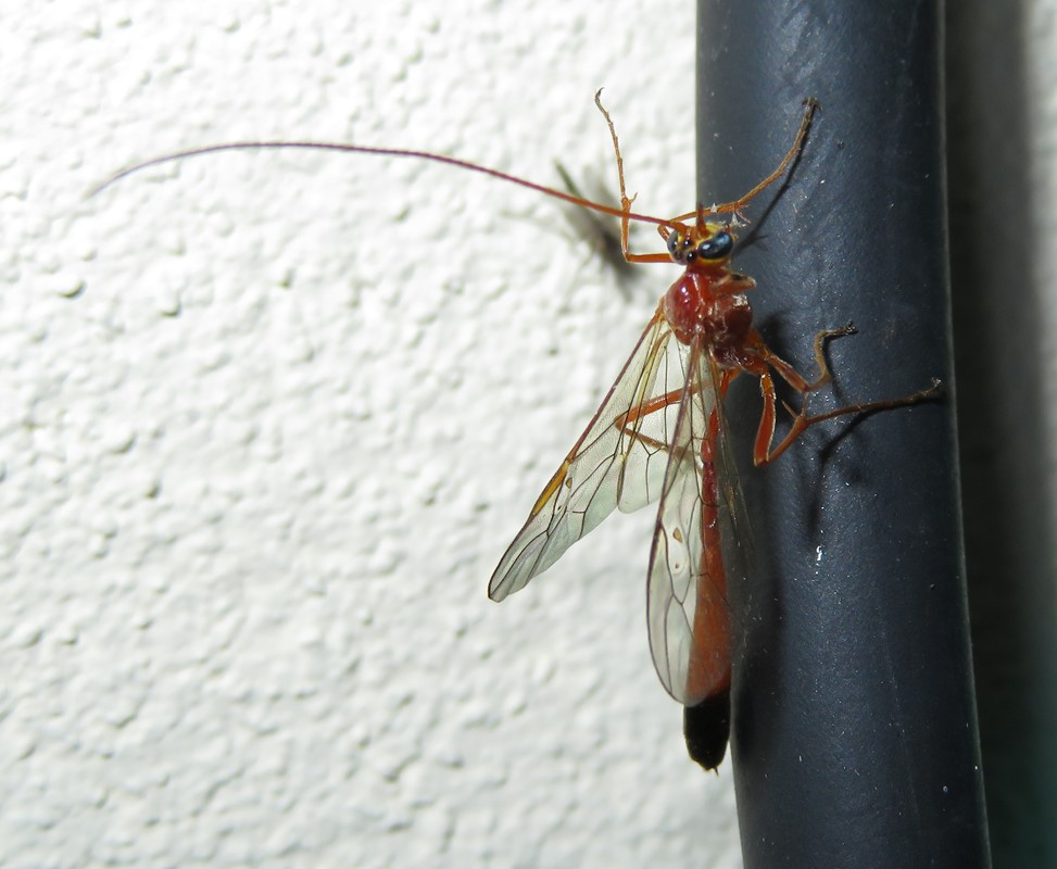 Enicospilus ramidulus