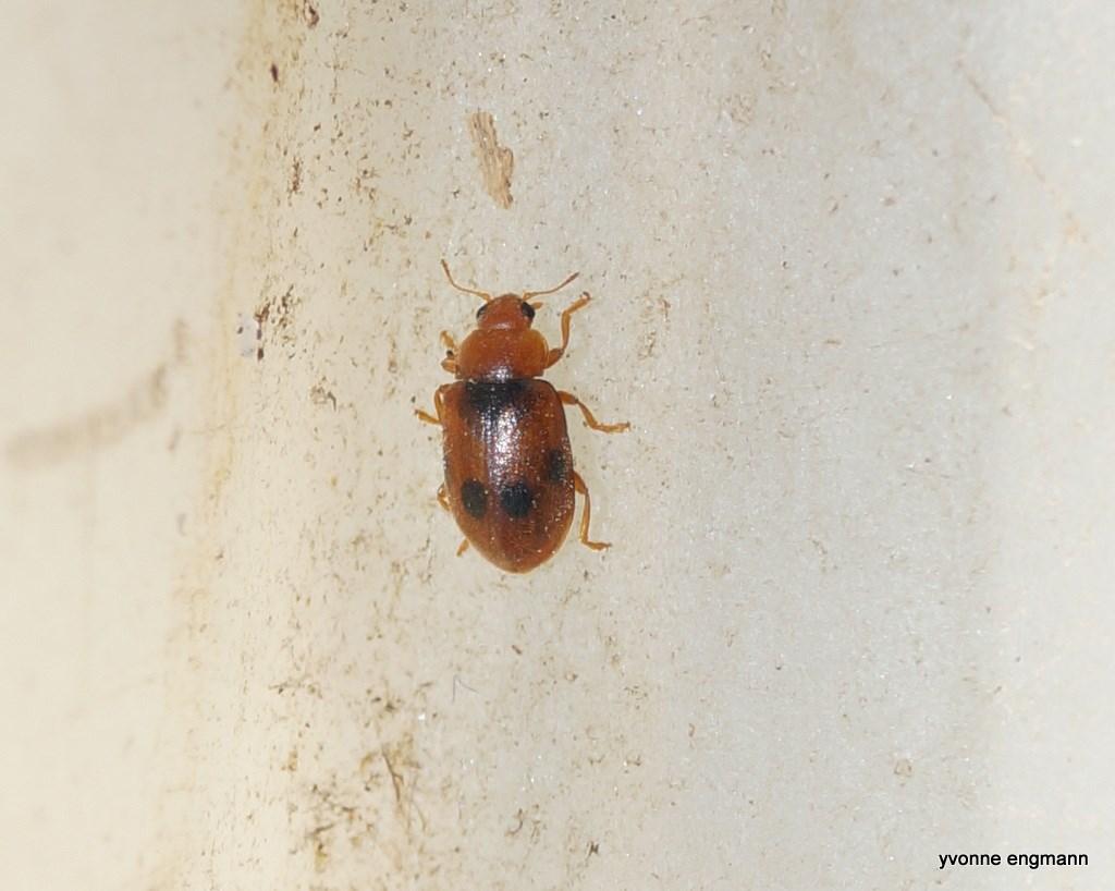 Foto/billede af Coccidula scutellata (Coccidula scutellata)