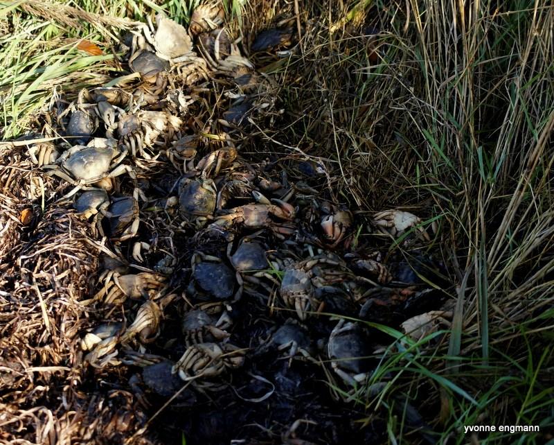 Almindelig Strandkrabbe (Carcinus maenas)