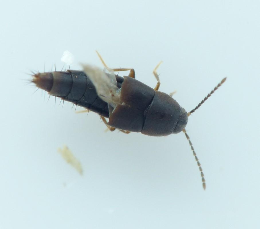 Myllaena intermedia