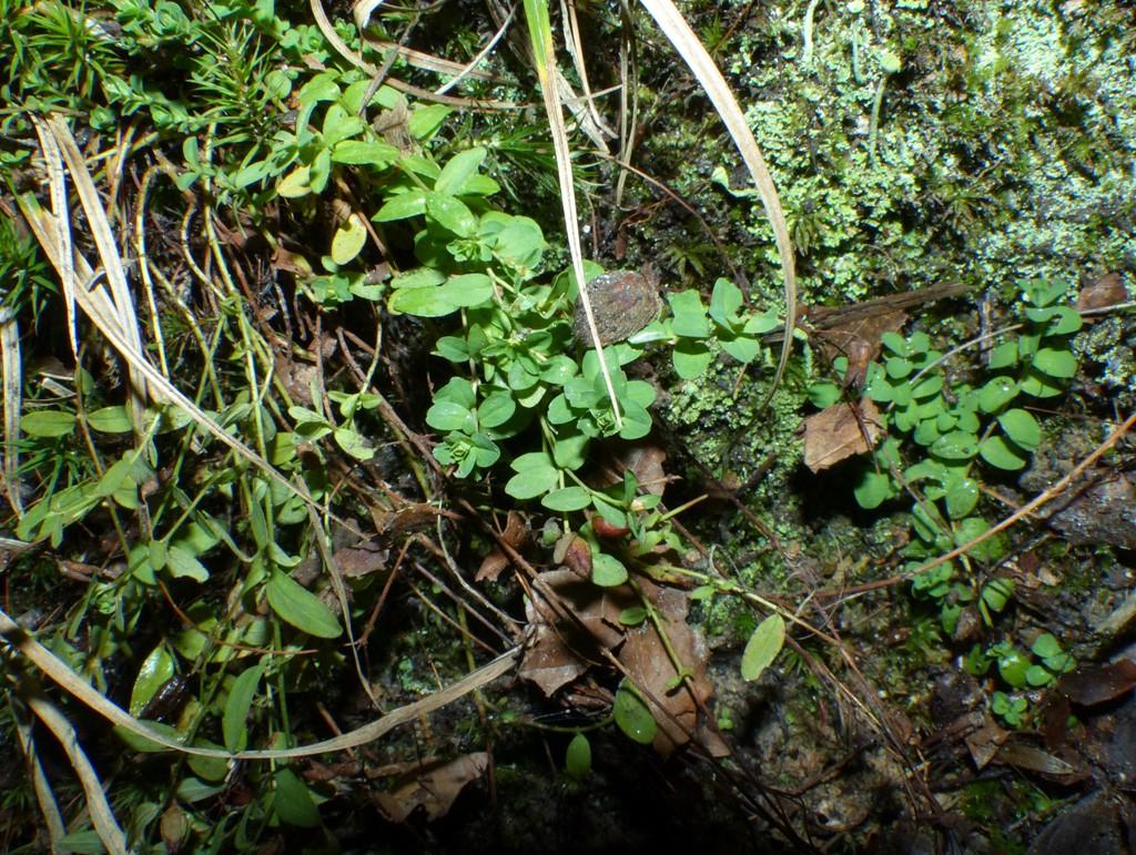 Foto/billede af Dværg-Perikon (Hypericum humifusum)