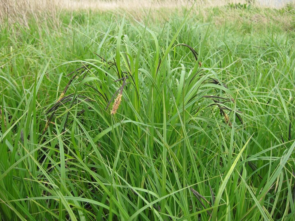 Foto/billede af Nikkende Star (Carex acuta)