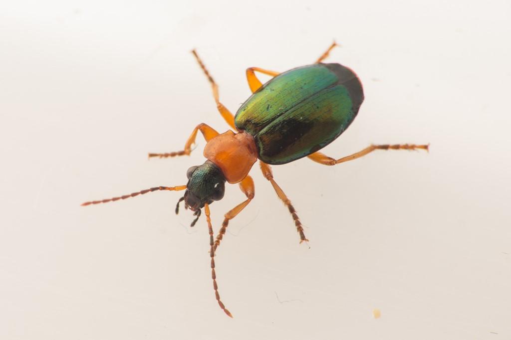 Foto/billede af Grønvinget Græsløber (Lebia chlorocephala)