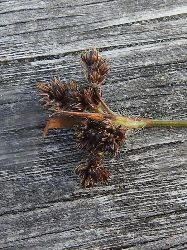 Mangeblomstret Frytle (Luzula multiflora)