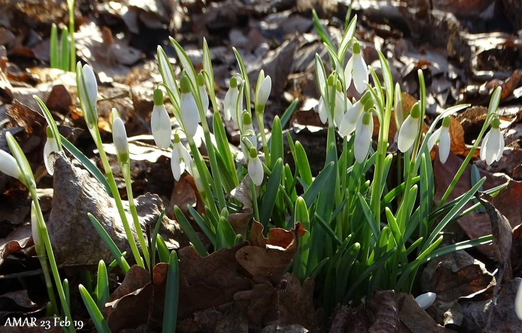 Almindelig Vintergæk (Galanthus nivalis)