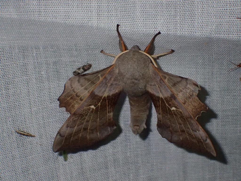 Poppelsværmer (Laothoe populi)