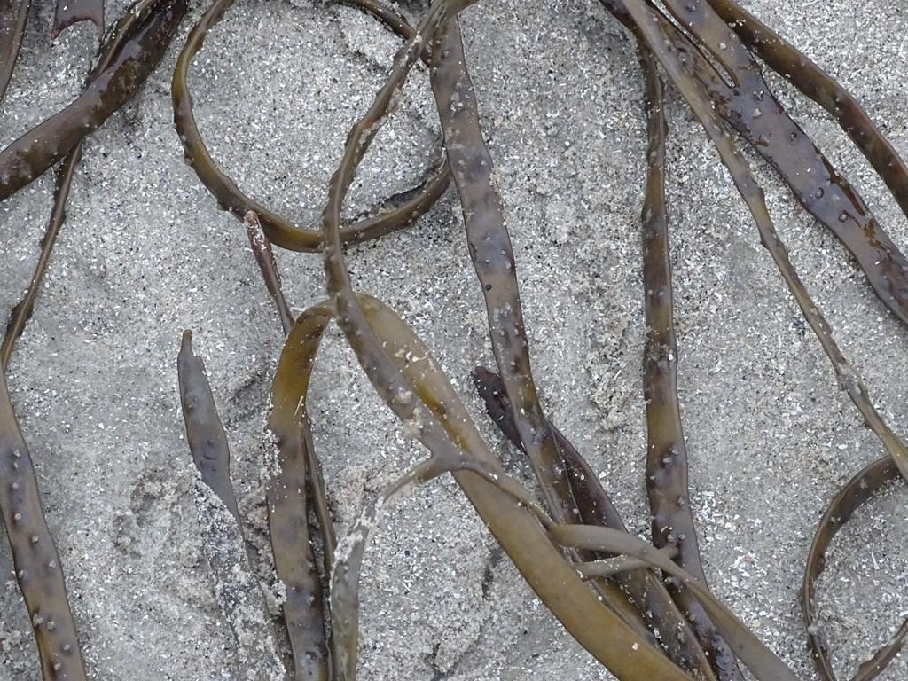 Foto/billede af Remmetang (Himanthalia elongata)