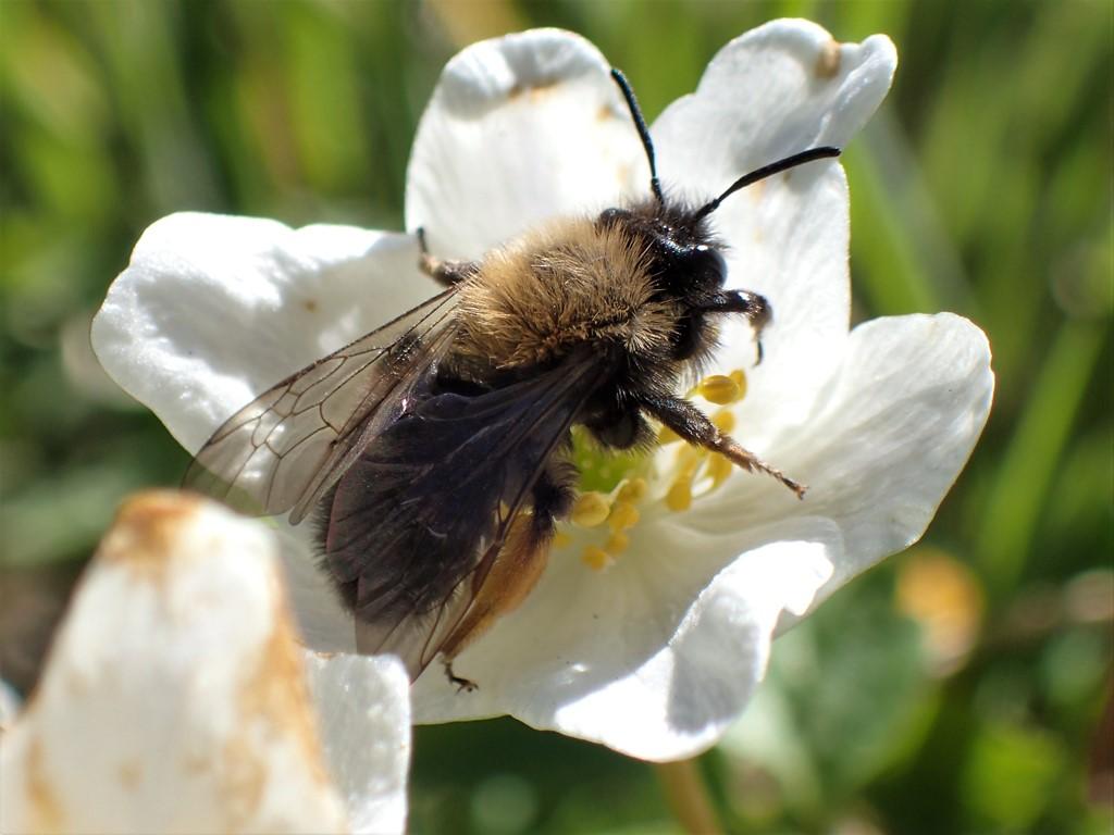Foto/billede af Rødbrystet jordbi (Andrena clarkella)